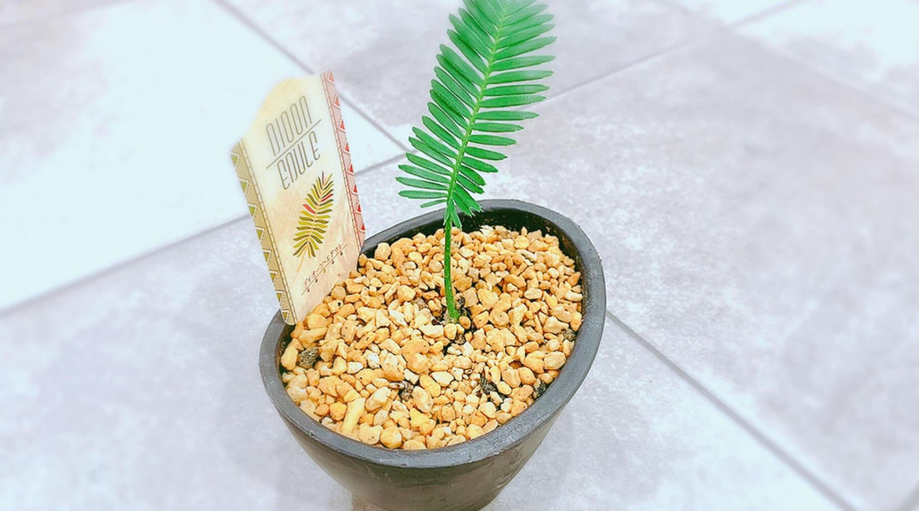 ソテツ科植物の伝説