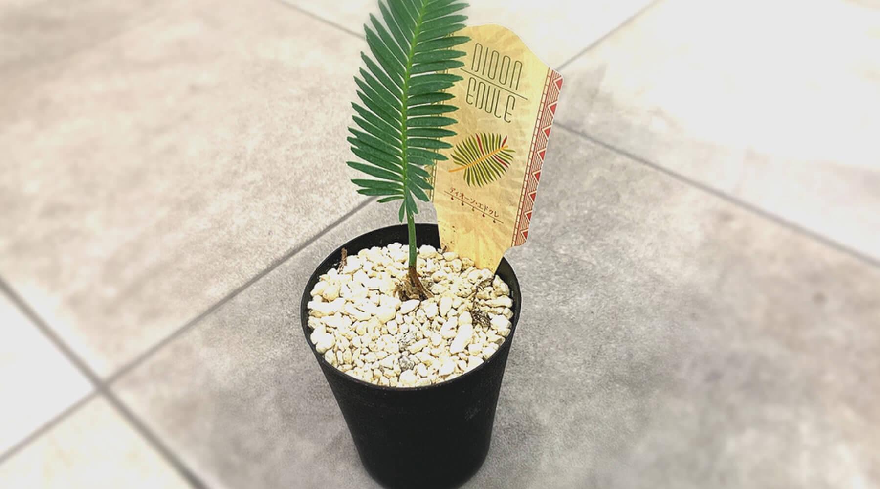 ディオーンエデュレは南国の植物