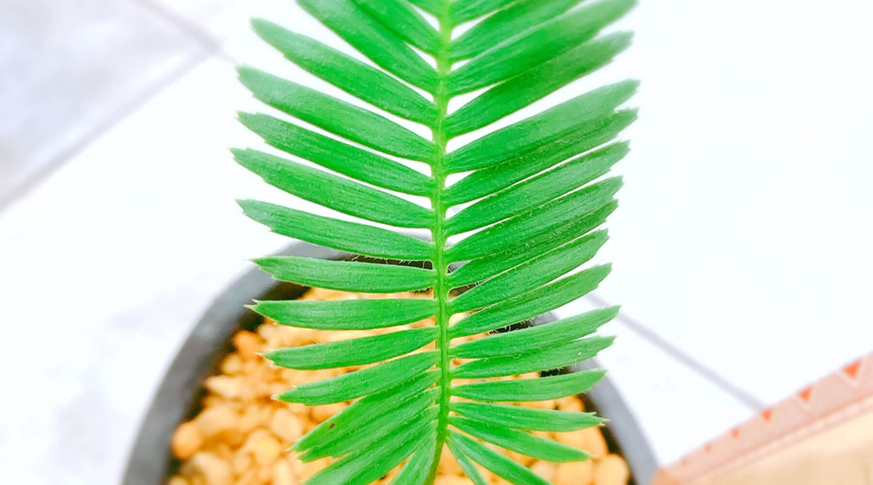 ディオーンエデュレはソテツ科の植物