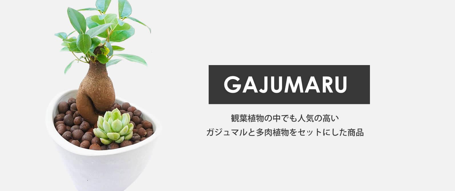 ガジュマルと多肉植物コラボ