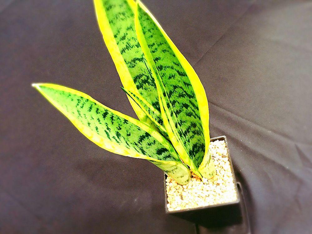観葉植物インテリアおすすめ③サンセベリアローレンチー