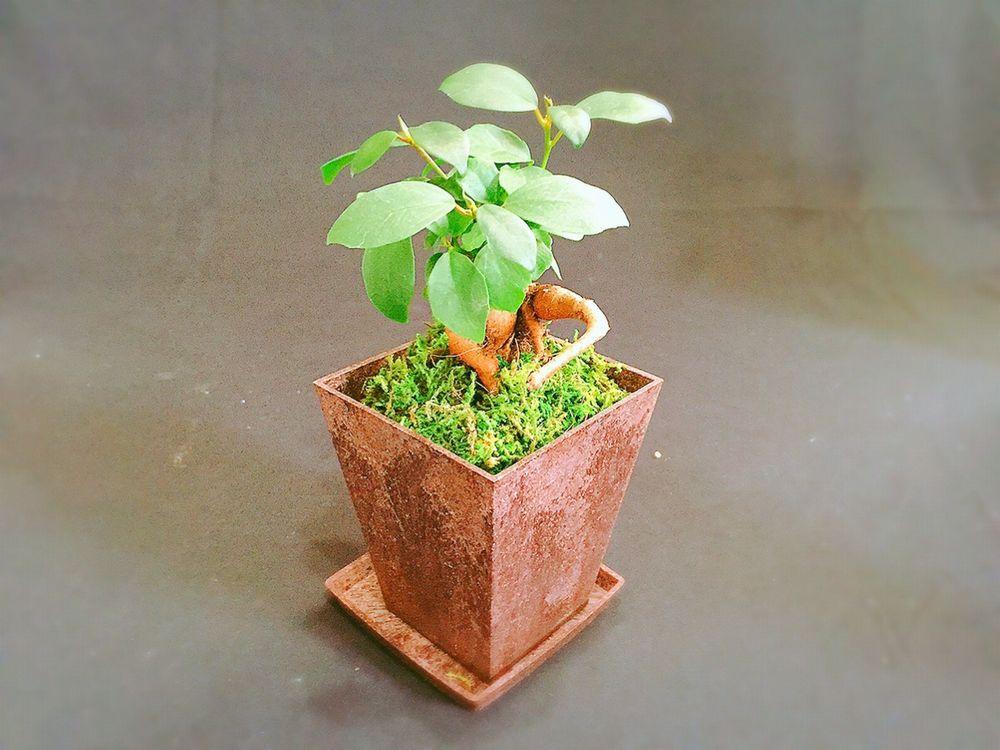 観葉植物インテリアおすすめ②ガジュマル和風ポット