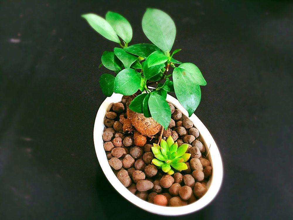 観葉植物インテリアおすすめ①ガジュマル&多肉セット